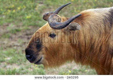 Takin (musk Ox Relative)