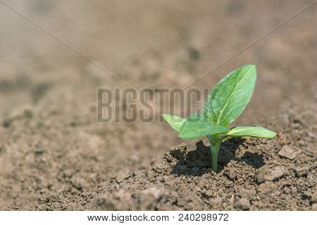 Green Soybean Plant On The Field In Spring. Young Soy Plant.