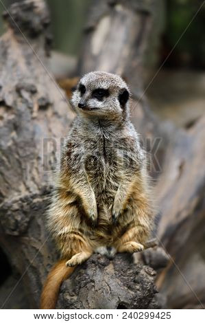 Full Body Of A Wild African Meerkat On The Tree Trank. Photography Of Wildlife.