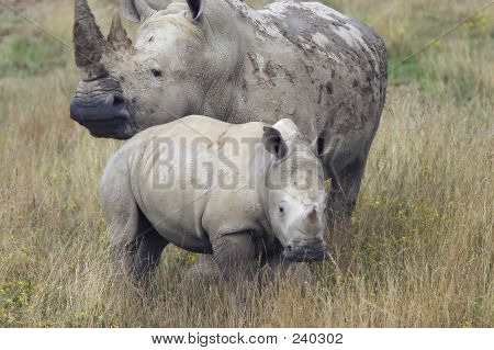 Mother Rhino With Baby Rhino