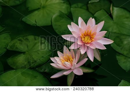 Beautiful Lotus Flower Or Water Lily In A Pond With Green Leaves In The Background, In Buddhism Lotu