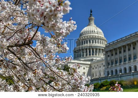 Cherry Blossoms In Front Of The Us Capitol Building In Washington, Dc, Usa