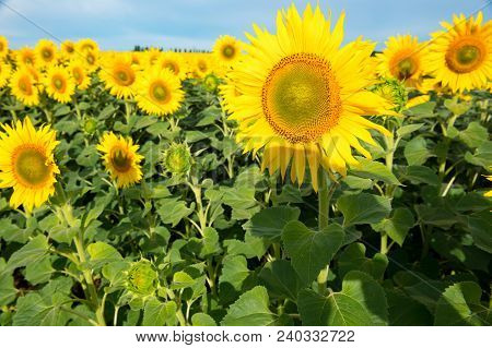 Sunflower Field Landscape. Field Of Blooming Sunflowers On A Background Sunset. Sunflower Natural Ba