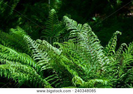 Season Of Green Ferns. Close-up Of Beautiful Growing Ferns In The Forest. View To Ferns In The Sunli