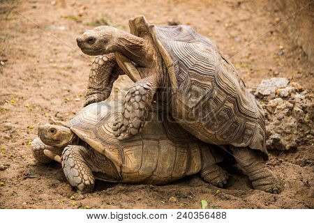 Two Giant Tortoises Mating In The Zoo.