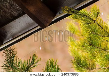 Water Dripping From The Edge Of The Roof Over The Branches Of Pine Closeup
