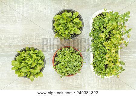 Spring Gardening Light Concept. Fresh Basil, Mushroom Grass, Marjoram, Chicory And Cumin Seedling In