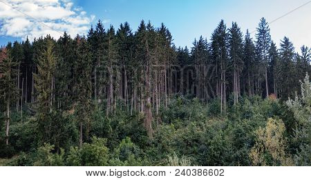 Forest Background With Spruce Trees. Hills Covered With Coniferous Dense Forest In Suceava, Romania.