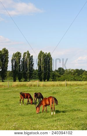 Foal With A Mare On A Summer Pasture, Three Horses