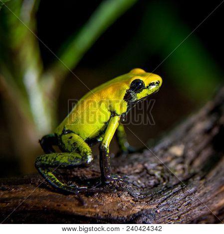 Black-legged Poison Froglet, Phyllobates Bicolor In Terrarium