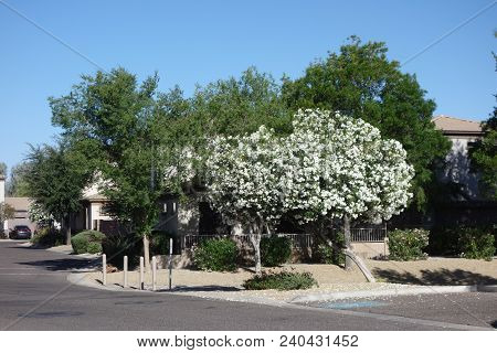 Arizona Desert Front-yard With White Oleander Tree And Bright Blue Spring Sky