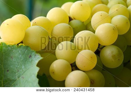 Green Grapes In Vine Yard On Green Background.white Grape On A Branch Of Green Vine In Vineyard Befo