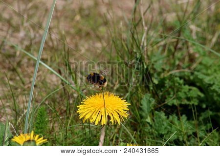 Bumble Bee Pollenating A Dandelion Flower In A Meadow