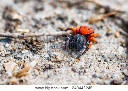 Close Up Venomous Ladybird Spider Or Eresus Kollari In Nature