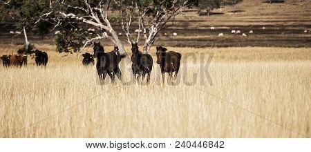 Australian Horses In The Paddock