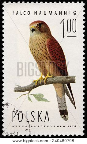 Luga, Russia - February 8, 2018: A Stamp Printed By Poland Shows The Lesser Kestrel (falco Naumanni)