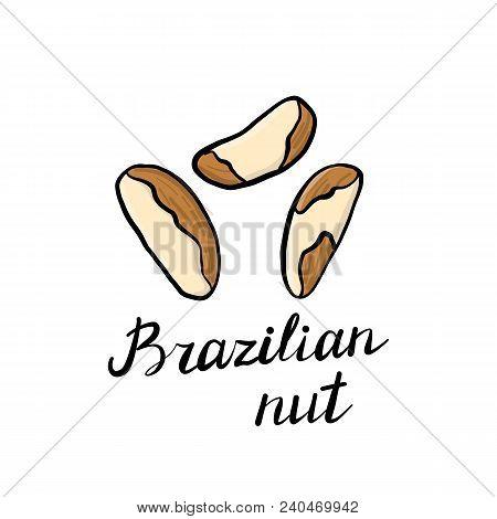 Vector Drawing Brazilian Nuts, Hand Drawn Illustration