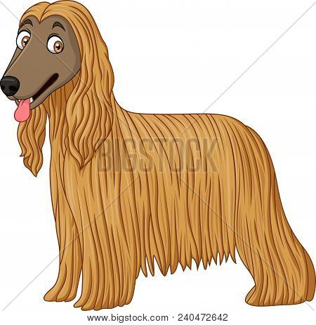Afghan Hound Dog  Isolated On A White Background