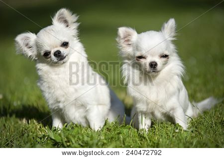 Purebred Chihuahuas In A Garden In Spring