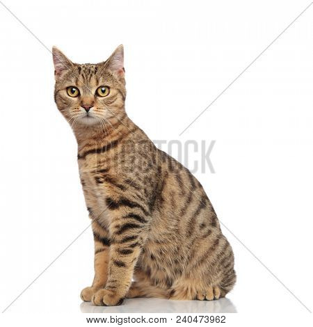 side view of lovely seated striped british fold cat looking to side on white background