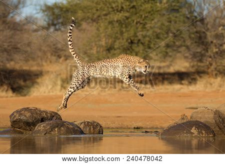 Cheetah Leaping Between Two Rocks Over Some Water, South Africa (acinonyx Jubatus)