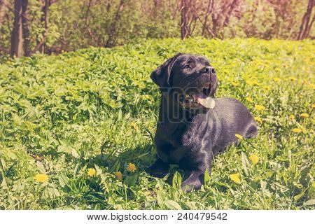 Big Black Dog Labrador Retriever Adult Purebred Lab On The Grass In Spring Or Summer Green Park