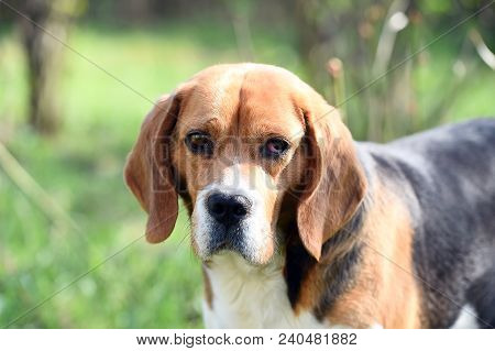 Dog With Long Ears On Summer Outdoor. Beagle Walk On Fresh Air. Cute Pet On Sunny Day. Companion Or
