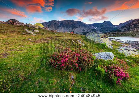 Stunning Sunset Landscape, Famous Camping Place Near Alpine Bucura Lake. Pink Rhododendron Mountain