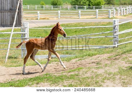 Cute Little Purebred Foal Playing At Farm. Scenic Rural Landscape.