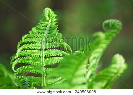 Nephrolepis Exaltata The Sword Fern - A Species Of Fern In The Family Lomariopsidaceae