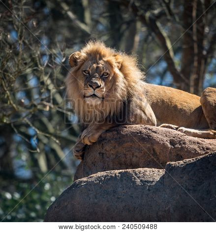 Lion Poses With Paws Hanging Over Side Of Rock