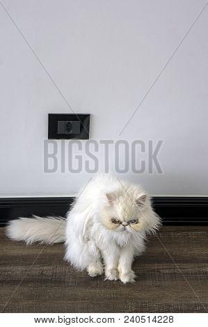 Cat Persian Purebred Stare Looking Pet  Wooden Floor