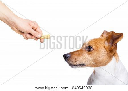 Hungry Jack Russell Dog  , For A Treat  By His Owner , Isolated On White Background For A Meal Or Fo