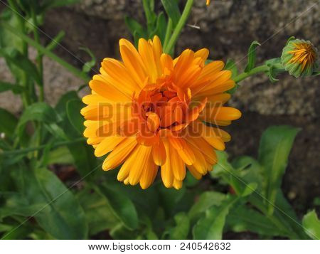 Orange Calendula Officinalis Blossom Close-up, A Plant Used In Gastronomy And Traditional Medicine,