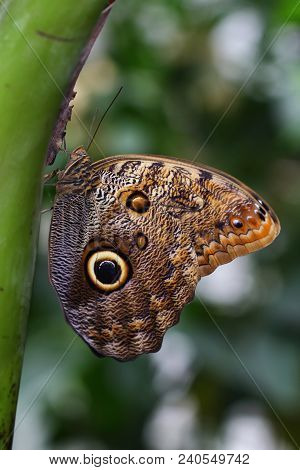Tropical Butterfly Caligo Owl On The Tree. Macro Photography Of Wildlife.
