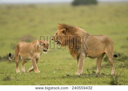 A Male And Female African Lion In A Savannah In Masai Mara Game Reserve, Kenya