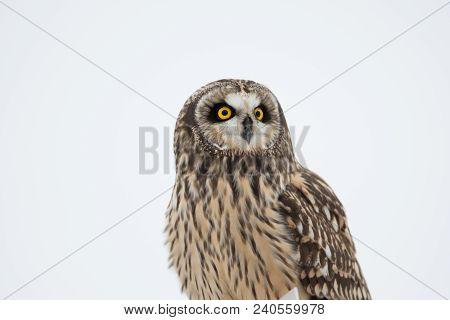 Portrait Of A Short Eared Owl In Winter