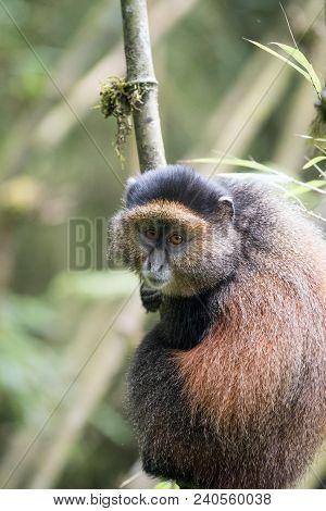 Golden Monkey Clinging To A Tree In Volcanoes National Park, Rwanda