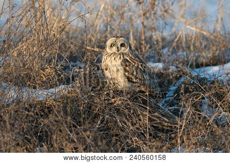 A Short Eared Owl Perched On The Snow Covered Ground At Sunset In Rural Indiana