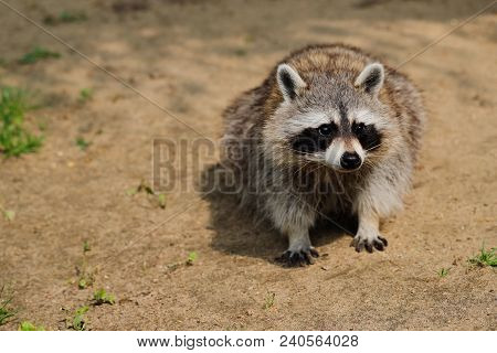 Full Body Of Portrait Of Raccoon (procyon Lotor). Photography Of Wildlife.