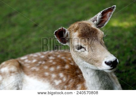 Close-up Of Fallow Deer (dama Dama) On The Meadow. Phtography Of Wildlife.