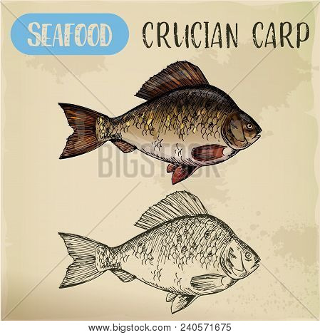 Hand Drawn Crucian Or Common Carp, Sketch Of Cyprinidae Fish For Signboard. Sea Or River Seafood Log