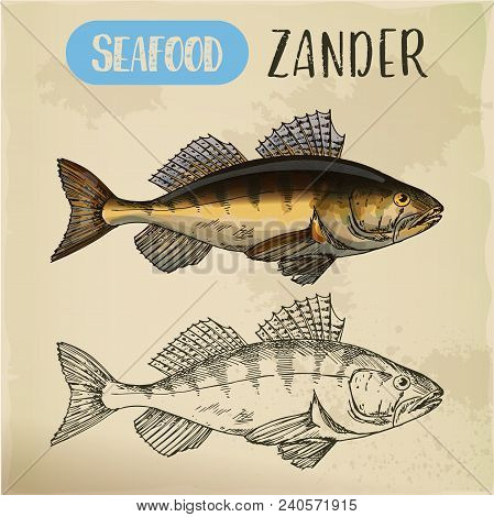 Pike-perch Or Zander Sketch On Signboard. Fish Catch For Shop Or Store Sign, Seafood Menu At Restaur