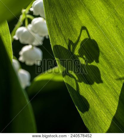 The Shadow Of The Flower On The Sunlit Leaf Of A Lily Of The Valley. Selective Focus.