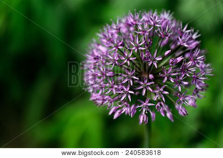 Close-up Of Lilac Spherical Flower On The Spring Meadow. Photography Of Nature.