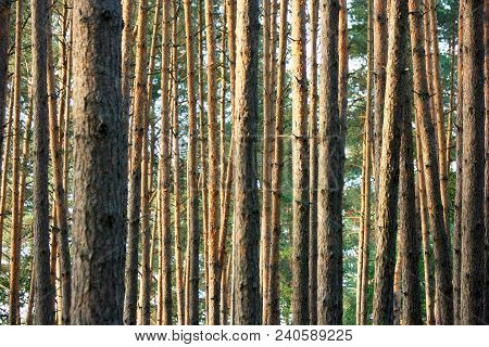 Trunks Of The High Trees In The Coniferous Forest