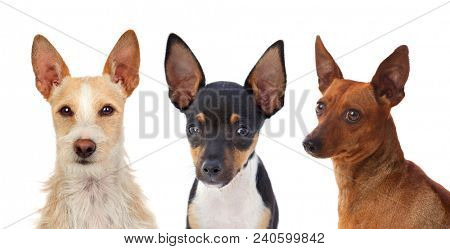Portrait of funny dogs with funny big ears raised isolated on white background