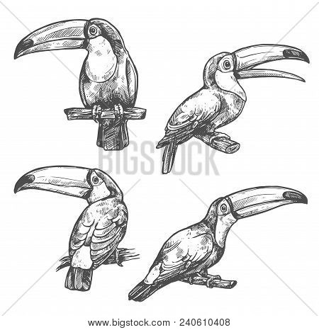 Toucan Sketch Set With Tropical Bird In Different Positions. American Forest Toco Toucan Bird Sittin