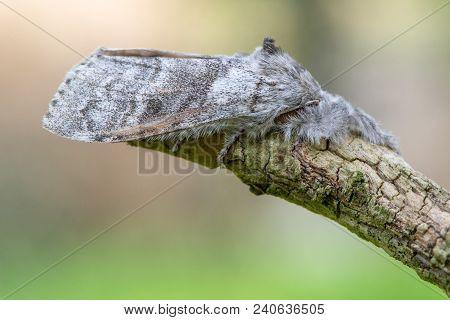 Pale Tussock Moth (calliteara Pudibunda) At Rest. Female Insect In The Family Erebidae With Forward-