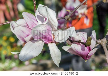 Pink Flowers Of Magnolia Soulangeana. Russia, Sochi.